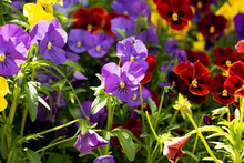 Background From Different Colored Pansies Bathing In Sunshine.Summer Flowers,green Leafs.Floral Backdrop With Negaive Space.