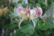 Pink Honeysuckles