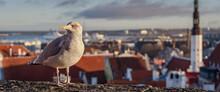Tallinn Seagull