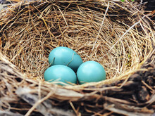 Eggs In The Nest: Three Bright Blue American Robin Eggs Nestled Into The Birds Nest