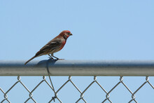 Male House Finch Bird Or Haemorhous Mexicanus Perched On Chain Link Fence Against Blue Sky