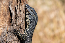 Australia, New South Wales, Rylestone, Close Up Of Goana (Monitor Lizard) Perching On Tree