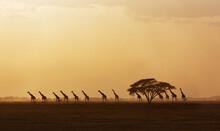 Africa, Kenya, Giraffes Walking In Savannah At Sunset In Amboseli National Park