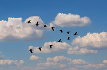 Egyptian Goose (Alopochen Aegyptiaca) Flying In V-formation Against Clouds