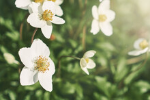 White Anemone Flowers In The Garden In Summer