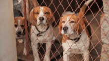 Beagley Dogs Behind The Fence On The Street.