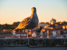 A Young European Herring Gull (Larus Argentatus) Stands On A Wall In The City Of Porto, During Twilight.