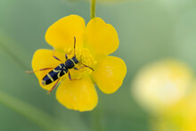 Cerambycidae Longicorne Clytus Arietis Sur Fleur Jaune