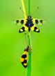 Leinwandbild Motiv Owlfly Libelloides macaronius net-winged insect