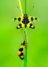Owlfly Libelloides Macaronius Net-winged Insect
