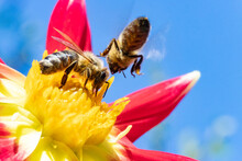 Two Honey Bee Collecting Pollen At Yellow Stamens In A Flower With Blue Sky On A Background. A Bee Working On A Garden Flower.