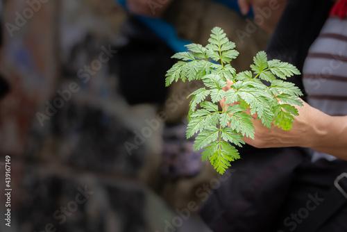 Obraz na płótnie Aethusa cynapium or traitor parsley, poisonous and toxic plant