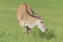 Beautiful Eland Antelope Eating Grass.