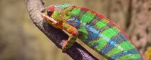 Colorful Panther Chameleon (furcifer Pardalis) Resting On A Branch In Natural Environment. Environmental Conservation, Wildlife, Zoology, Herpetology Theme. Panoramic Image