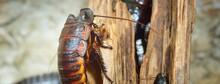 Black Giant Madagascar Hissing Cockroach Group In Natural Environment. Princisia Vanwaerebeki. Environmental Conservation, Wildlife, Zoology, Entomology Theme. Panoramic Image