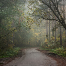 Rural Road (pathway) Through The Evergreen Forest In A Fog At Sunrise. Ancient Pine Trees, Green And Golden Plants, Maple Close-up. Ecology, Seasons, Autumn, Ecotourism, Environmental Conservation