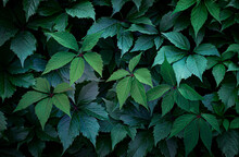Dark Background Of Grape Leaves