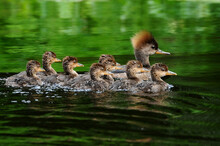 Mother Merganser Duck With Ducklings In A Row