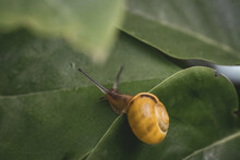 Grove Ribbon Snail Crawls Over A Large Green Leaf