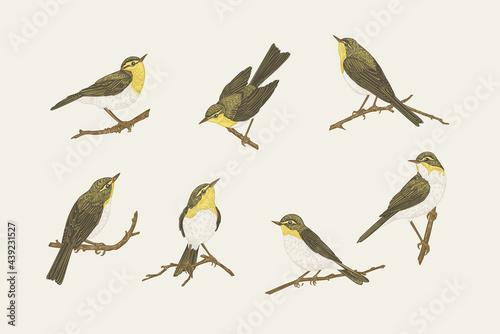 Set with birds. Willow warblers. Fototapeta
