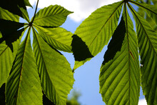 Green Chestnut Leaves On A Background Of Blue Sky On A Sunny Day.