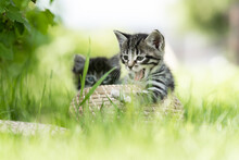 Yawning Funny Gray Kitten On The Grass In A Basket