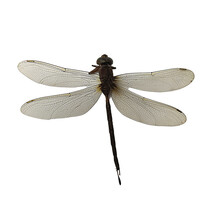 Isolated Dead Dragonfly On White Background