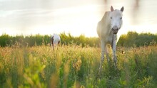 Portrait Of A Beautiful Chestnut Horse Illuminated By The Rays Of The Setting Sun In The Evening. Equestrian Life. Horseback Riding. Beautiful White Stallion At Sunset.