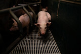 Pigs domestic animals in the cage at pig farm.
