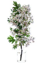 Blooming Crataegus (hawthorn Or Quickthorn) In A Glass Vessel On A White Background