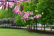 Blooming Branches With Pink Flowers Of The сercis Canadensis (eastern Redbud) Plant On A Blurred Background Of The Park.