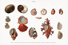 Different Types Of Mollusks Illustrated By Charles Dessalines D' Orbigny (1806-1876). Digitally Enhanced From Our Own 1892 Edition Of Dictionnaire Universel D'histoire Naturelle.