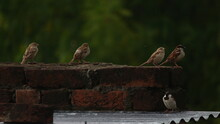 Sunny Day Outdoors With Three Sparrows Standing On A Brick Roof Of A House