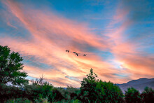 Canada Geese Flying Against A Dramatic Sunset Over Reno, Nevada.