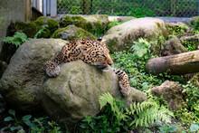 眠るヒョウ