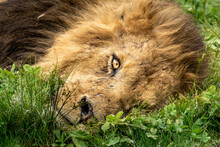 眠る雄ライオン