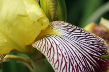 Yellow And Crimson Bearded Iris Flower Close Up