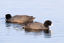 Two American Coot Ducks Swimming In Water