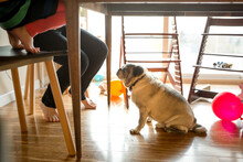 Put Sits On Floor Looking Up At Humans Sitting At Table