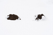 Two Fresh Moles Protruding From White Snow.