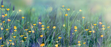 Wild Flowers And Blooming Grass In A Nature Meadow In The Rays Of Summer Sun In Spring. Close-up Macro. Picturesque Colorful Art Image With Soft Focus.
