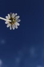 Daisy On Blue Background