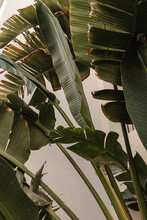 Coconut Palm Tree Leaves. Beautiful Summer Exotic Tropical Nature Background. Summer Travel, Vacation Concept.