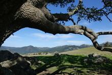 Shade Tree On Hillside Above Jenner Headlands
