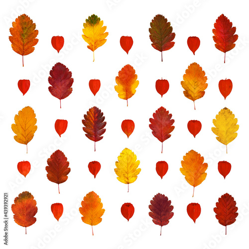 Fotografie, Obraz Arranged colorful yellow, red, orange, brown hawthorn fall leaves and physalis l