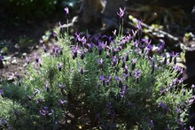 French Lavender  (Stoechas Lavender). Lamiaceae Evergreen Herb.