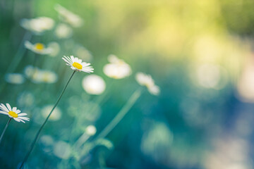 Beautiful field meadow flowers chamomile, soft green blue in morning light pastel colors, nature landscape, close-up macro. Relaxing calming nature, inspirational floral background