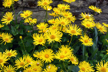 Yellow Doronicum Chamomile Blooms In The Flowerbed