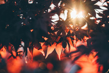 Autumn Red Leaves At Sunset Light.