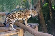 Spotted Jaguar (Panthera Onca), Isolated On The Tree Trunk With An Aspect Of Ferocity In Selective Focus.
